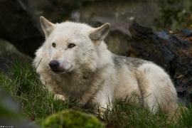 Wolf_Dub1501-Leikun-07