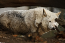 Wolf_Dub1501-Leikun-08