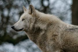 Wolf_Dub1501-Leikun-09