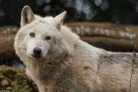 Wolf_Dub1501-Leikun-10