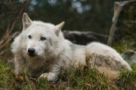 Wolf_Dub1501-Leikun-11