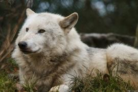 Wolf_Dub1501-Leikun-12