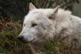 Wolf_Dub1501-Leikun-13