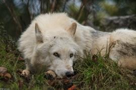 Wolf_Dub1501-Leikun-14
