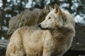 Wolf_Dub1501-Motomo-01