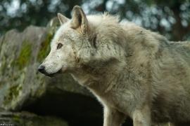 Wolf_Dub1501-Motomo-02