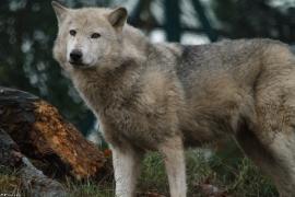 Wolf_Dub1501-Tahni-01