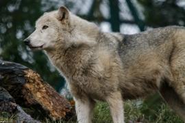 Wolf_Dub1501-Tahni-02
