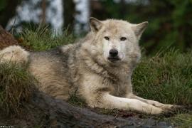 Wolf_Dub1501-Tahni-03