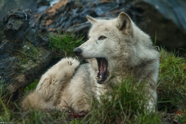 Wolf_Dub1501-Tahni-07