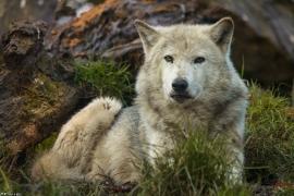 Wolf_Dub1501-Tahni-09