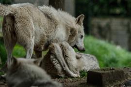 Wolf_Dub1505-All-01