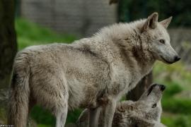 Wolf_Dub1505-All-02