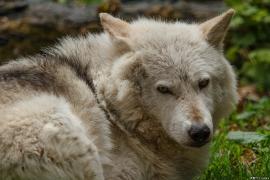 Wolf_Dub1505-Chetan-02