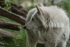 Wolf_Dub1505-Leikun-01