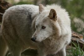 Wolf_Dub1505-Leikun-02