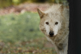 Wolf_Dub1505-Leikun-07