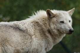 Wolf_Dub1505-Leikun-10