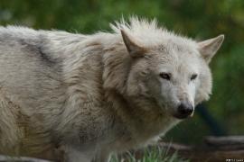Wolf_Dub1505-Leikun-11