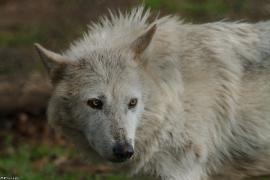 Wolf_Dub1505-Leikun-12