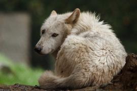 Wolf_Dub1505-Leikun-14