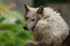 Wolf_Dub1505-Leikun-15