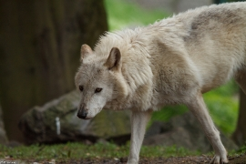 Wolf_Dub1505-Leikun-16
