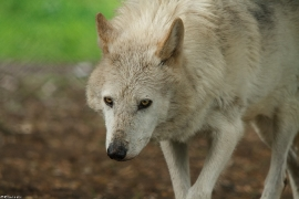 Wolf_Dub1505-Leikun-17