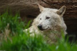 Wolf_Dub1505-Leikun-20