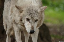 Wolf_Dub1505-Motomo-03