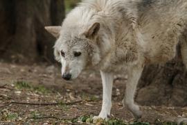 Wolf_Dub1505-Motomo-04