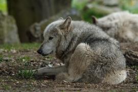 Wolf_Dub1505-Tahni-01