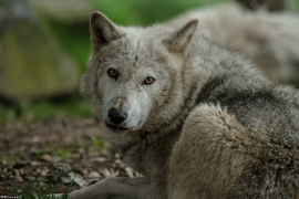 Wolf_Dub1505-Tahni-03