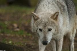 Wolf_Dub1505-Tahni-04