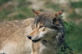 Wolf_BadM1109-Brown-7
