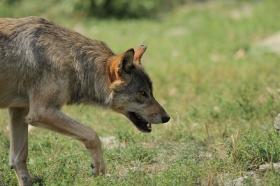 Wolf_BadM1109-Brown-8