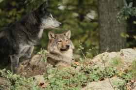 Wolf_BadM1110-All-1