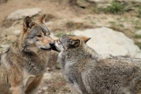 Wolf_BadM1110-All-2