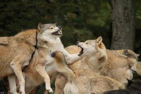 Wolf_BadM1110-All-3