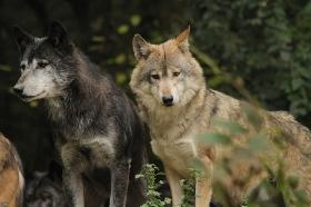 Wolf_BadM1110-All-4