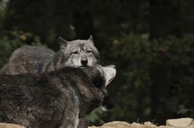 Wolf_BadM1110-All-5