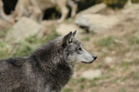 Wolf_BadM1110-Black-10