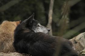 Wolf_BadM1110-Black-11