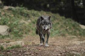 Wolf_BadM1110-Black-12