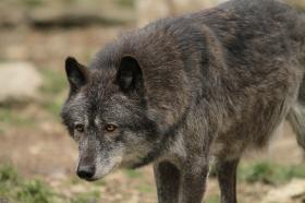 Wolf_BadM1110-Black-13