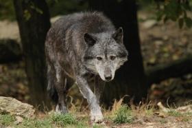 Wolf_BadM1110-Black-1
