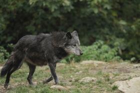 Wolf_BadM1110-Black-2