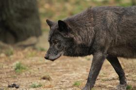 Wolf_BadM1110-Black-3