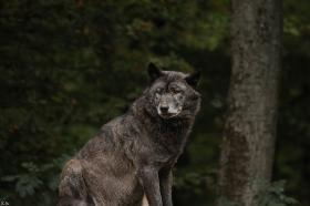 Wolf_BadM1110-Black-4