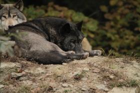 Wolf_BadM1110-Black-5
